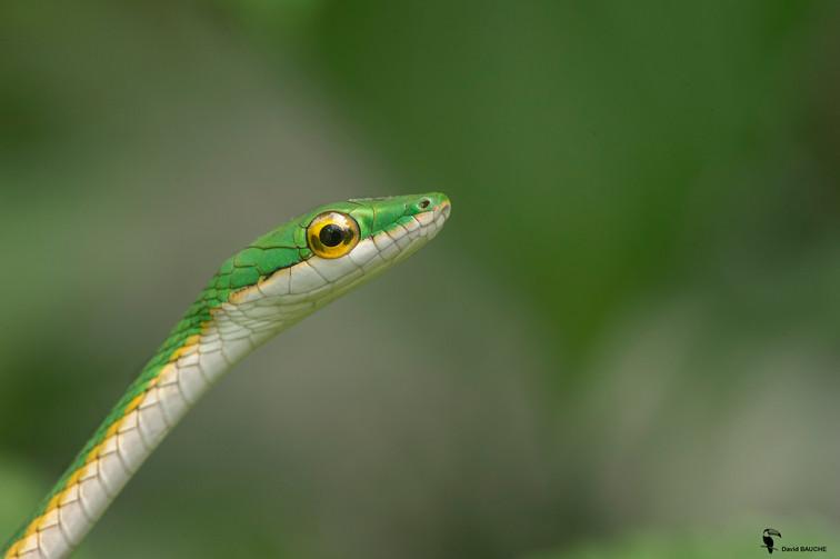 Serpent Liane Perroquet dans la haie du