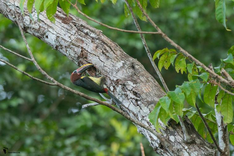 Aracari vert.jpg
