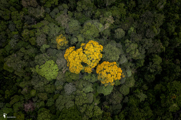 Ebène jaune.jpg
