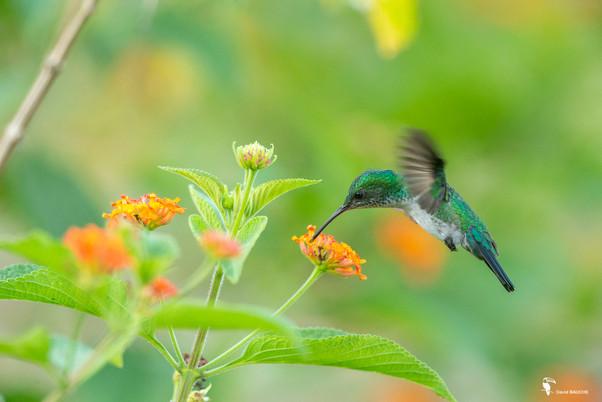 Colibri arianne vert dorée.jpg