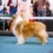 колли, collie, rough сollie, шелти, sheltie, shetland sheepdog, щенки, puppies, лавита, lavita, новосибирск, продажа, фотосъемка, собаки, хендлинг, дизайн