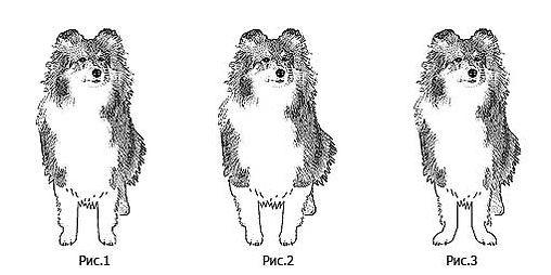 шелти, шетландская овчарка, колли, собаки, щенки, купить щенка, питомник, овчарка, стандарт шелти, купить щенка шелти, кобели для вязки, новосибирск, шотландская овчарка