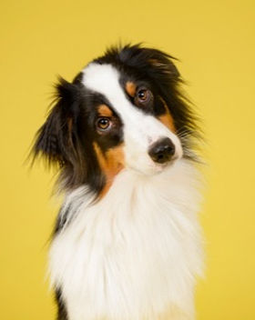 fluffy dog on a yellow background