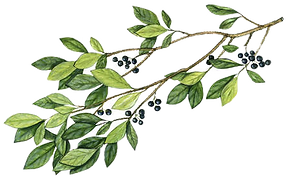 huckleberry twig_edited_edited_edited.pn