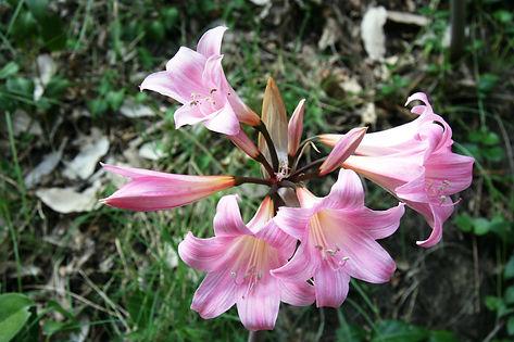 Amaryllis belladonna.JPG