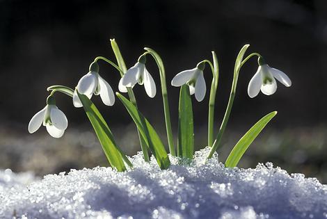 perce-neige.png