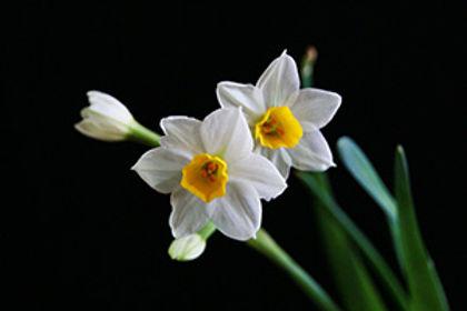 Narcisses-300.jpg