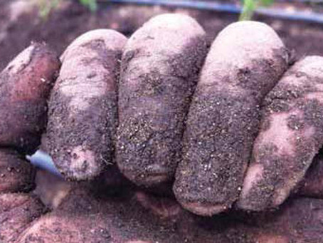 Dirty Fingernails (reflections of a farm apprentice)
