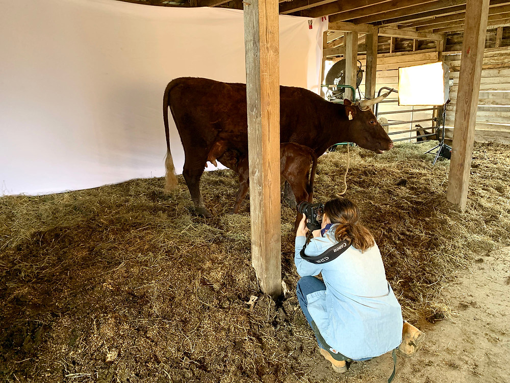 Photographer Aliza Eliazarov kneels down in the barnyard to take a photo of an American Milking Devon cow and its calf.