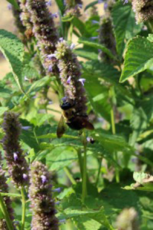 bee on mint flower - small