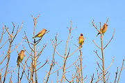 four cedar waxwings sitting in a tree branch