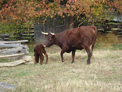 Cherry and Calf, Red Devon Cattle