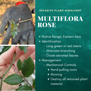 Invasive plant highlight: Multi-flora rose. Native range: Eastern Asia. Identification: long green or red stems, alternate branching, ovate serrated leaves. Management: mechanical controls include hand pulling roots, mowing, and destroying all removed plant material.