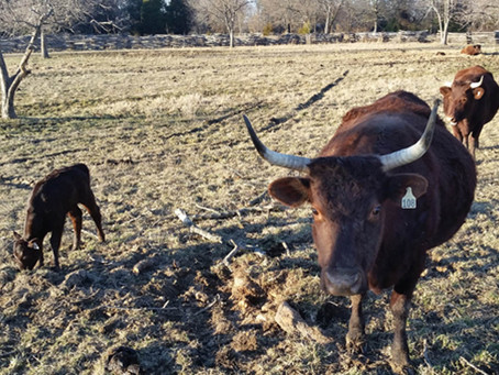 What to Expect When You're Expecting a Cow…. Part Two