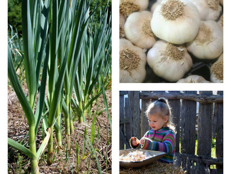 April is National Garlic Month: Celebrating the Many Uses of Garlic