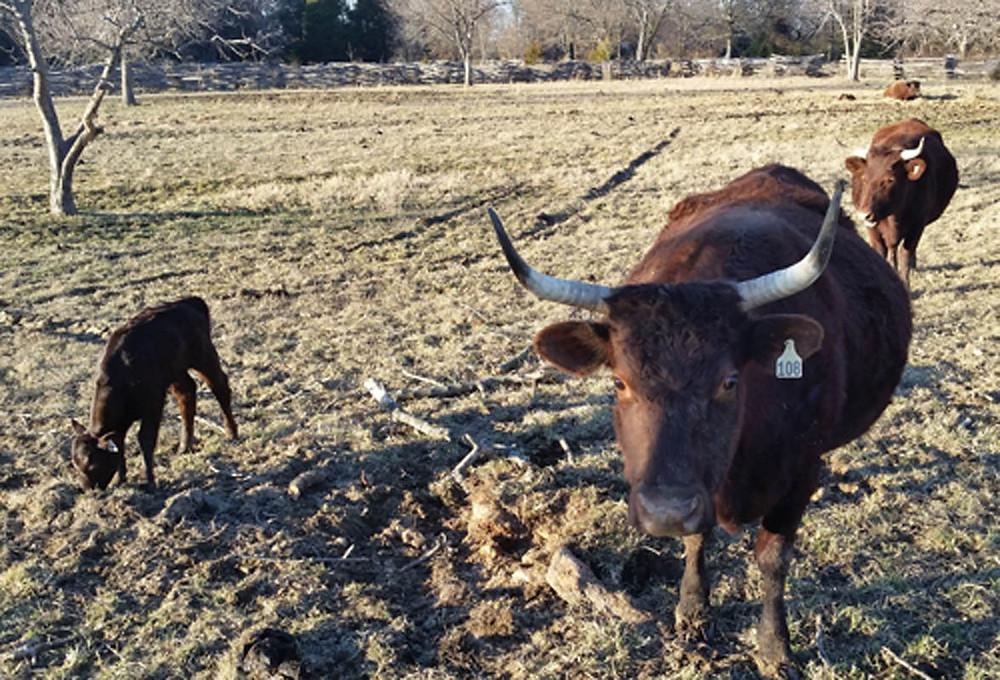 devons and calf - mama lynn