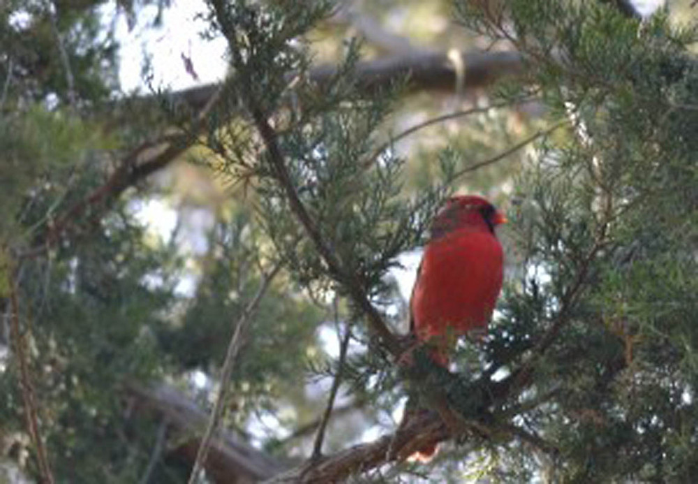 The northern cardinal was named for the red plummage of the male (pictured), which was said to look similar to a Catholic cardinal's red vestments.