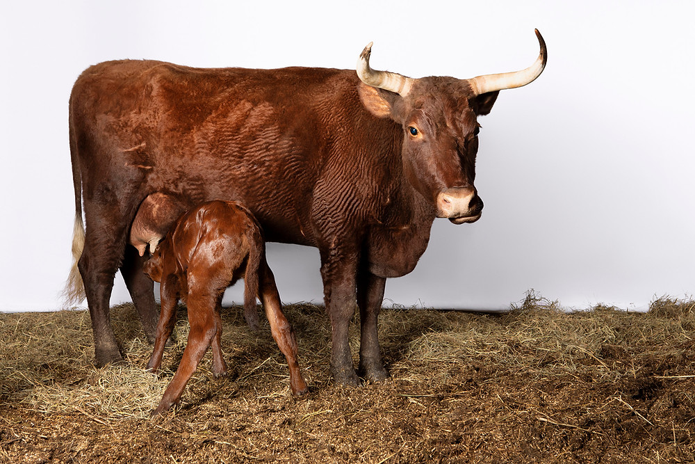 Photo of American Milking Devon cow, Bonita, and her new 3-day old calf