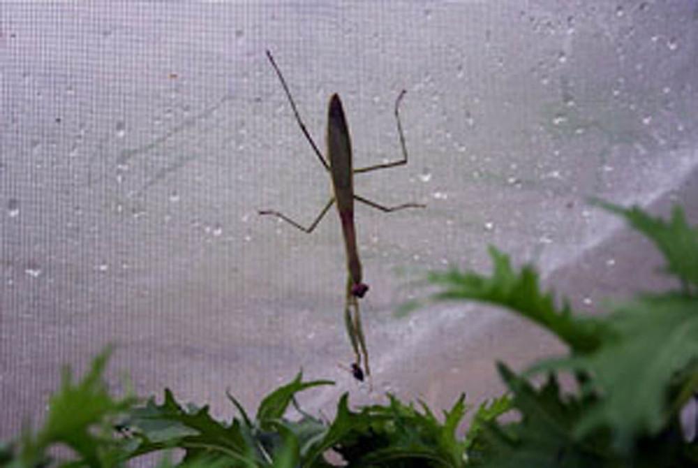 praying mantis - small
