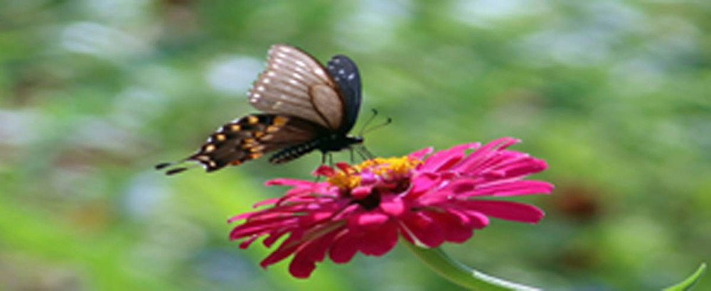butterfly on dahlia - small