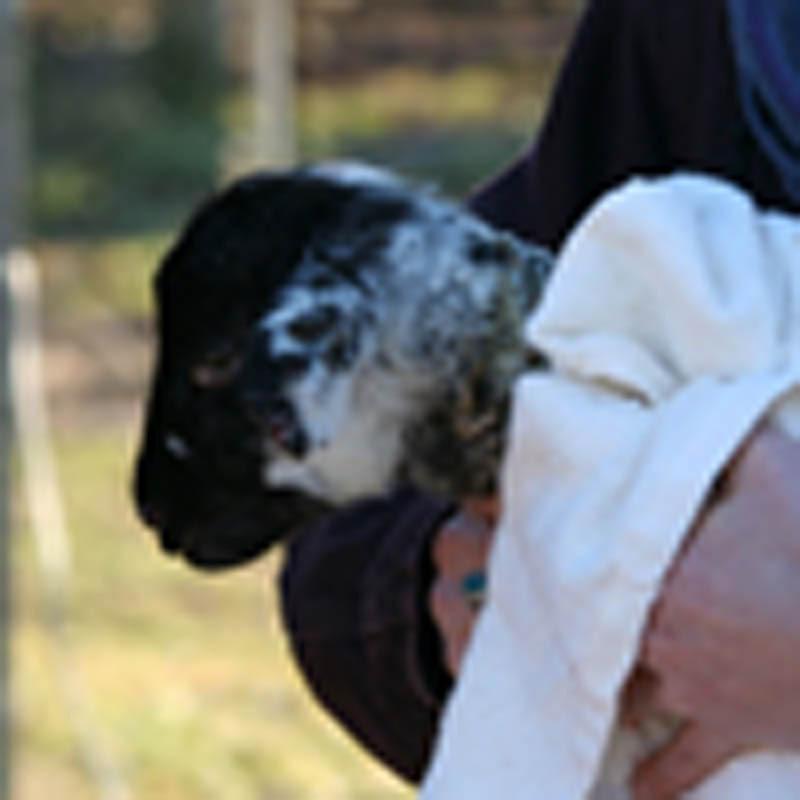 lamb newborn 100x100 px