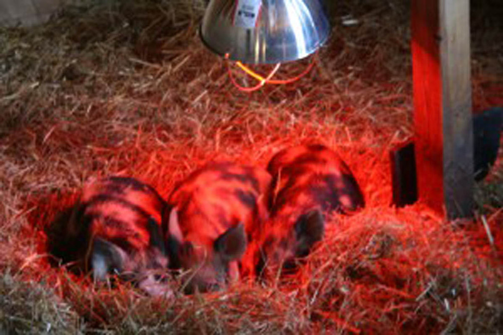 new Ossabaw hog piglets at the National Colonial Farm