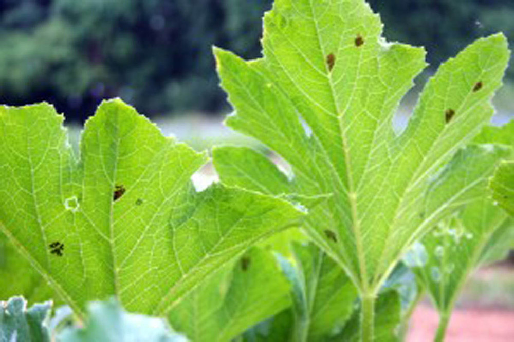 IMG_5608 (Squash Bug Eggs) SMALL