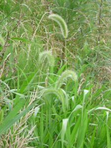 Green Foxtail, a tall grass with a fuzzy seedhead