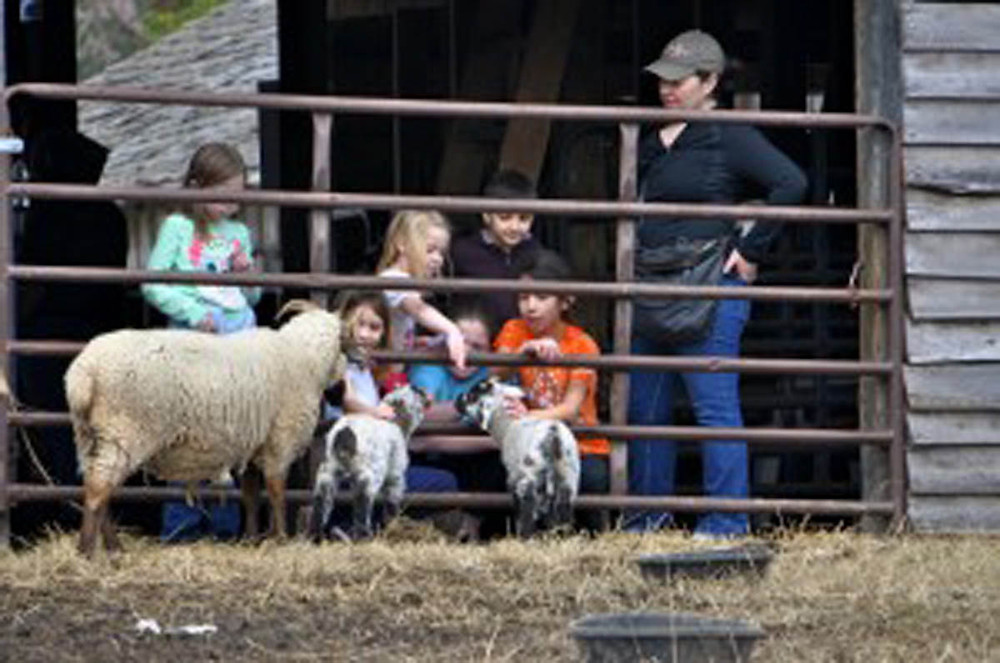New Hog Island lambs meet visitors face to face!