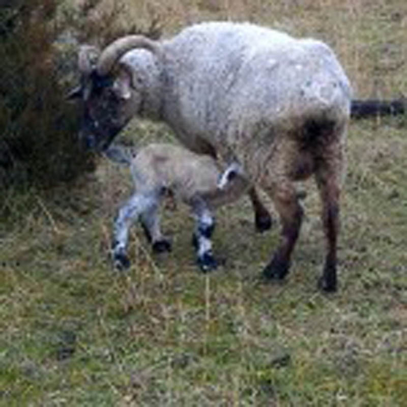 Ingrid gives birth to the first spring lamb of 2012, Ithaca.