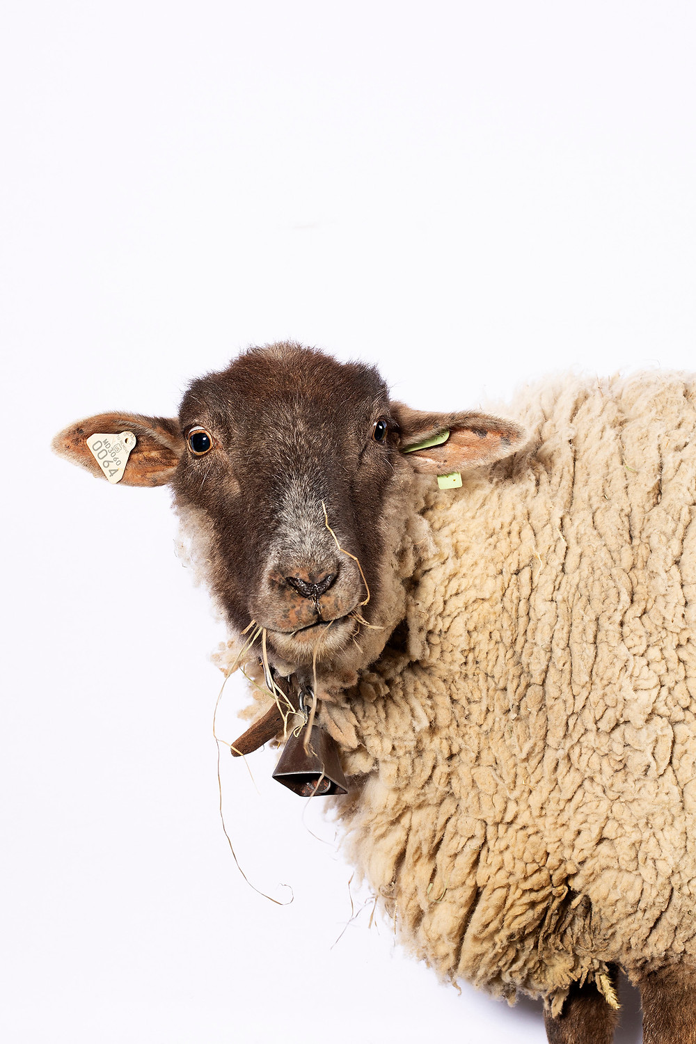 Hog Island sheep wether, Sir Nigel, munches on some hay in front of a white studio backdrop