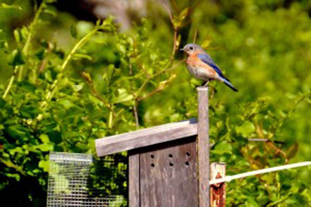 A female eastern bluebird guards her nest. Credit Bonnie Simpers.