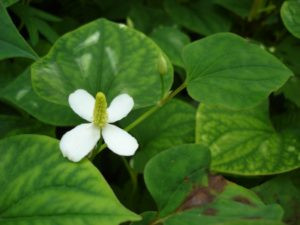 wild fish mint. a small white flower with four petals and a protruding head above wide, ivy-like leaves