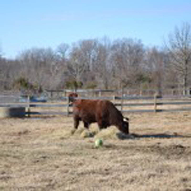 Bubba the bull an ball SMALL