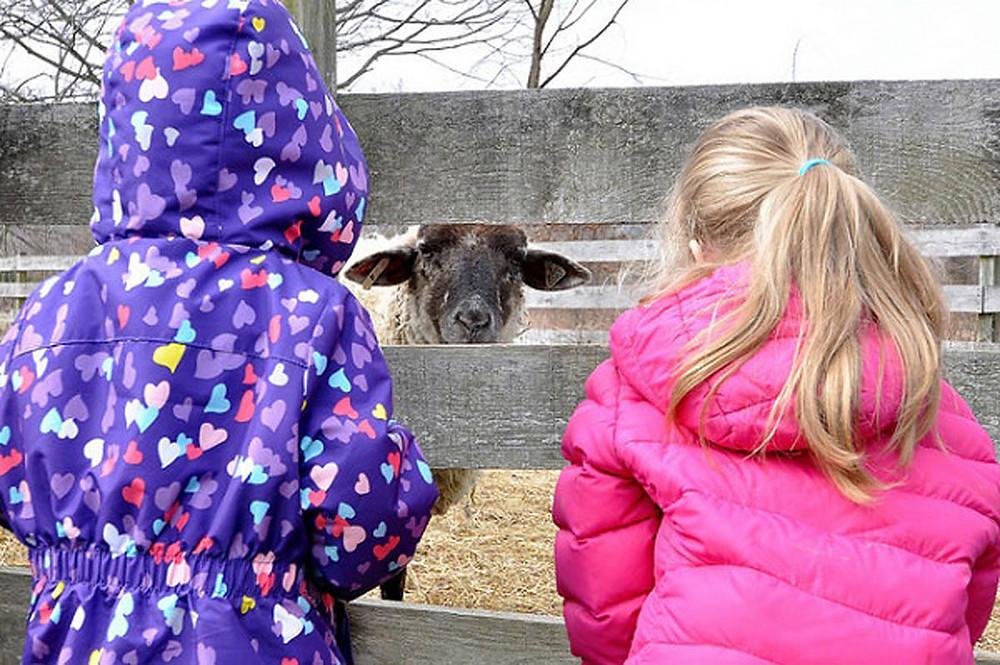 sheep and kids