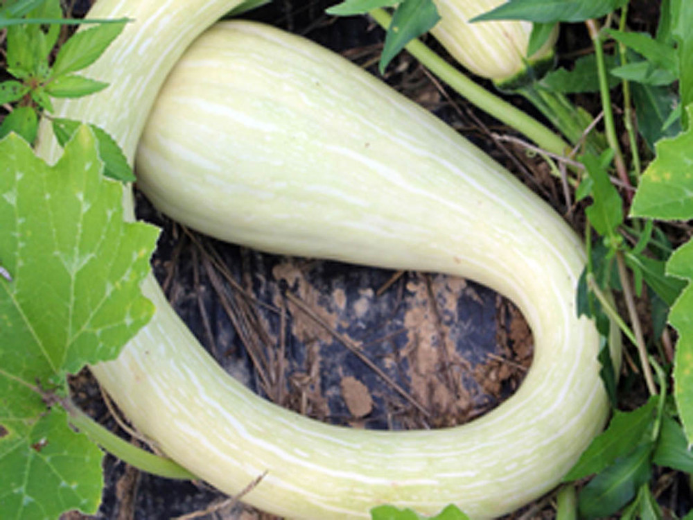 curly squash-small