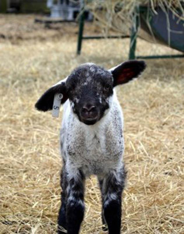 hog island lamb