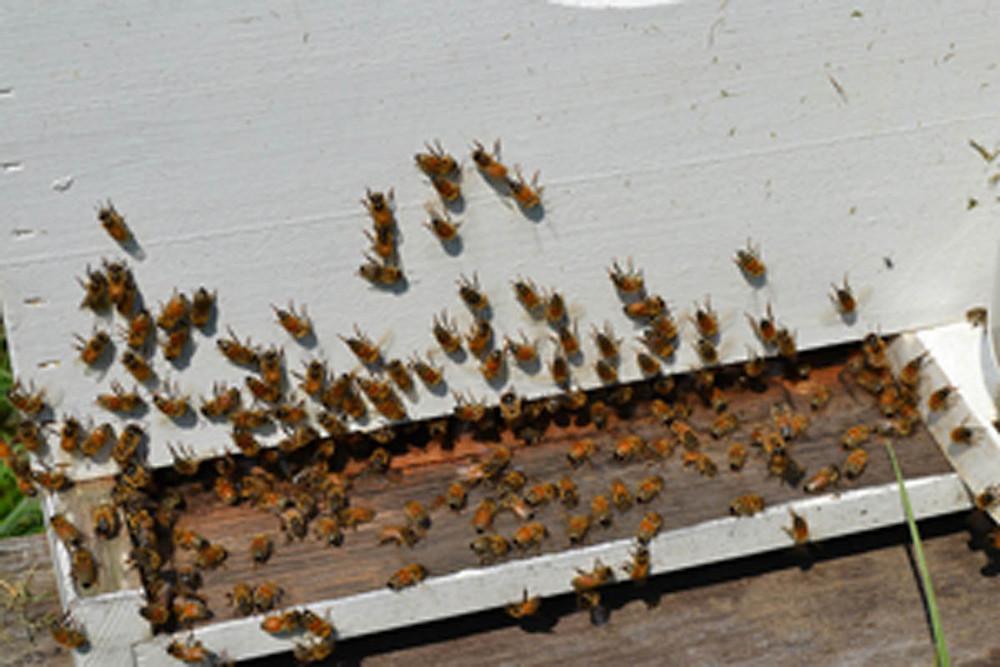 honeybees - small
