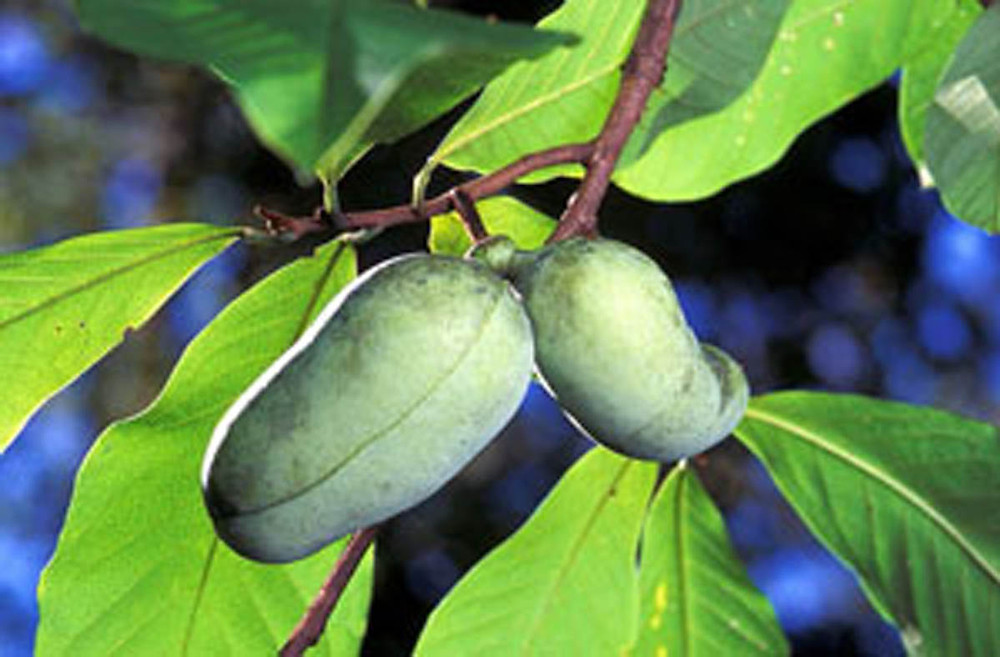 pawpaw - small