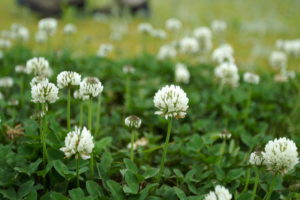 close shot of white clover blooming in a field