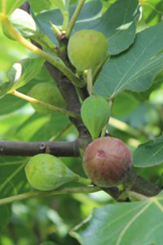 figs - small