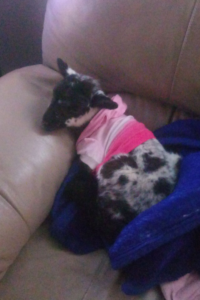 A lamb curls up on the couch in the home of a volunteer.