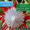 Thumbnail: King Protea flower essence