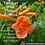 Thumbnail: Trumpet Vine flower essence