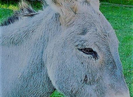 L'âne en poésies.