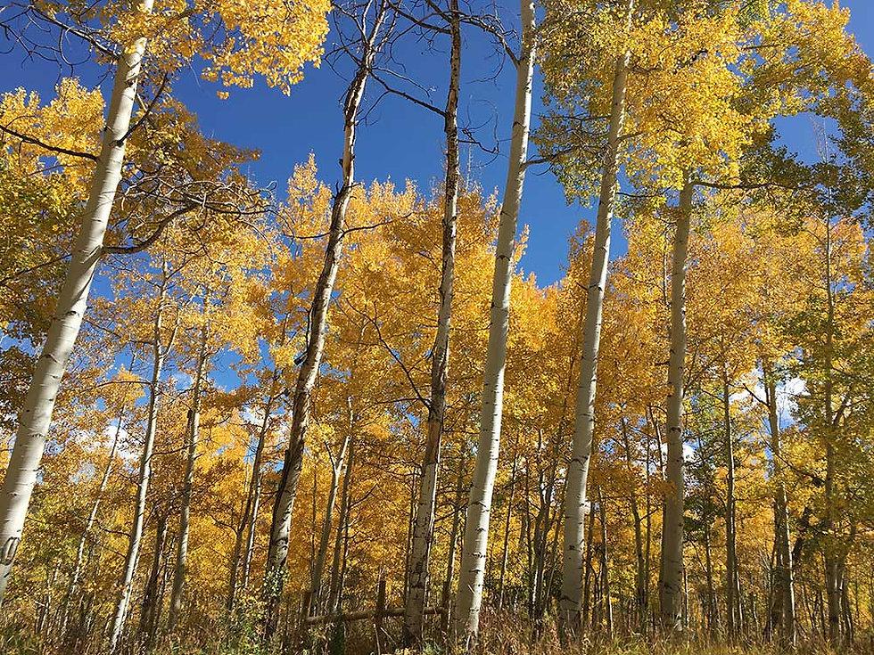 Spiritual-Field-Notes-Aspen-Trees.jpg