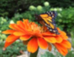 Monarch on Zinnia.jpg