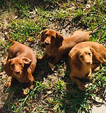 3 doxies in the grass.jpg