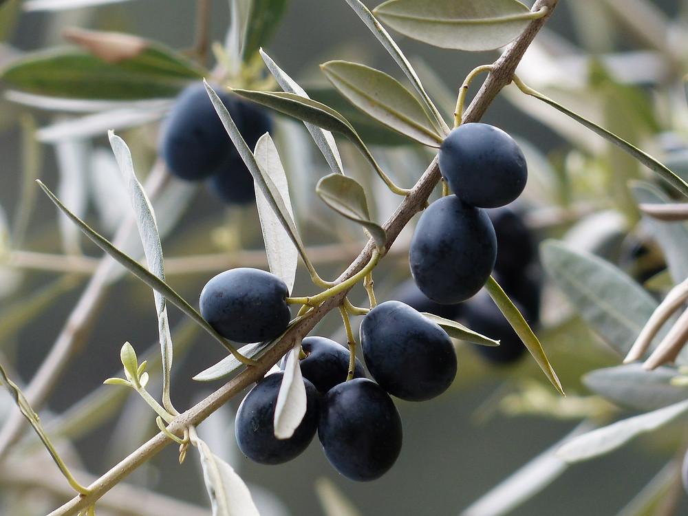 olive cucina sarda mediterranea