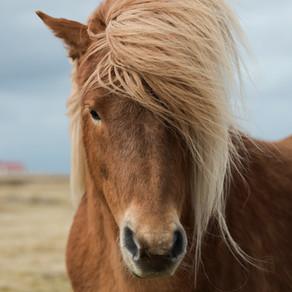 Akupunktur, Taping und Kräutertherapie bei Patellaluxation – Fallbericht aus der Pferdepraxis